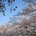 櫻花季進入第二個週末,上野公園的櫻花幾乎已經滿開