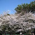 如果只看櫻花和天空,氣氛還不錯....