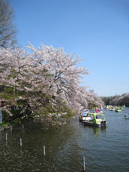2010/4/11,去井之頭公園賞櫻,順便逛三鷹之森吉卜力美術館