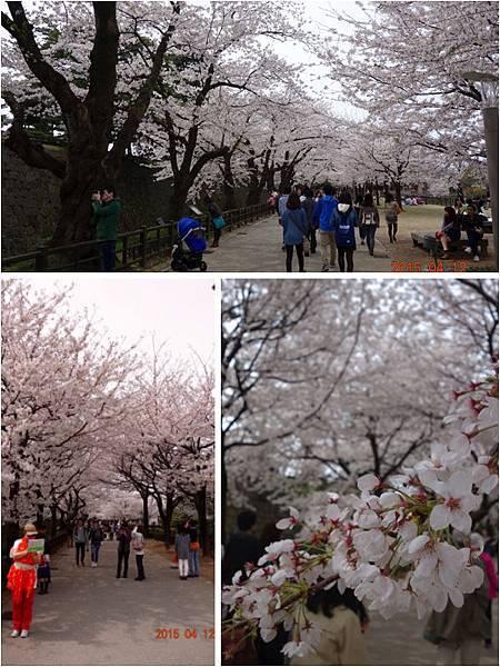 金澤城櫻花2