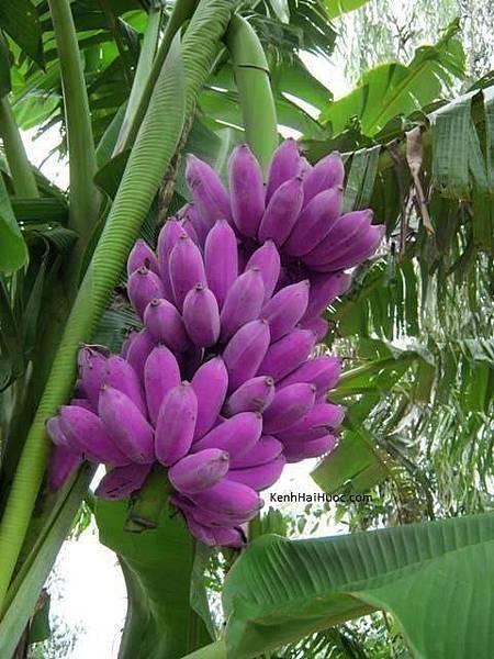 紫色香蕉仔