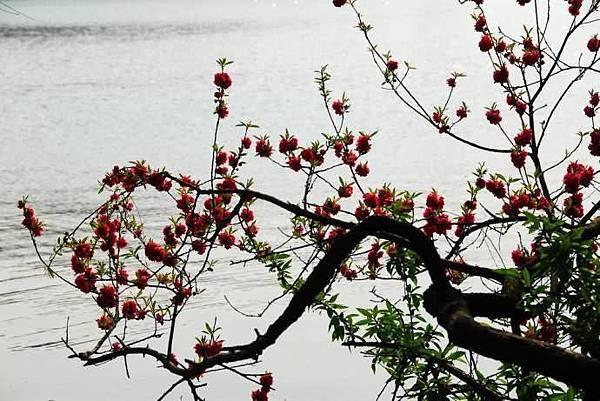 春意西湖-3-.jpg