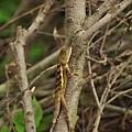有保護色的攀木蜥