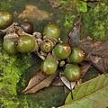 短尾葉石櫟