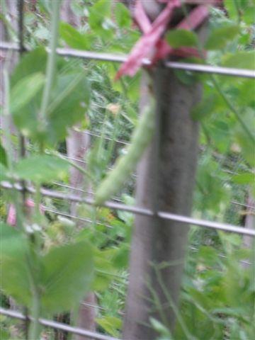 乾扁的四季豆