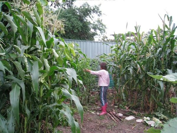 謝阿姨很用心的在照顧她的玉米田