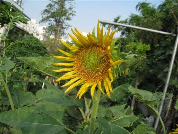 向日葵開花了~