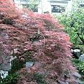 園內竟然還有櫻花?