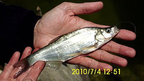 曲腰魚又名總統魚