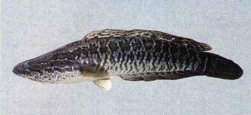 鱧魚Channa maculata
