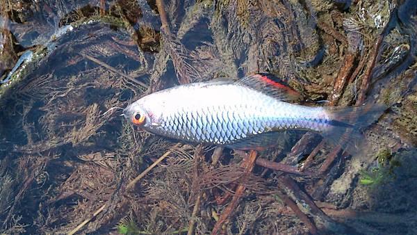 牛屎鯽魚的釣點(四) - 綜合池釣點