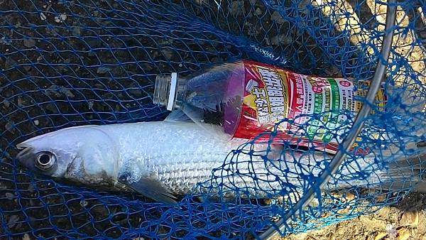2斤的野生烏魚