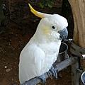 渡假村鸚鵡