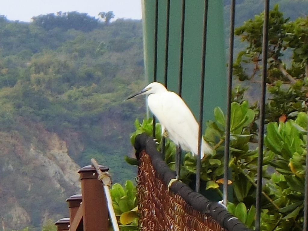 吊橋上鷺鷥