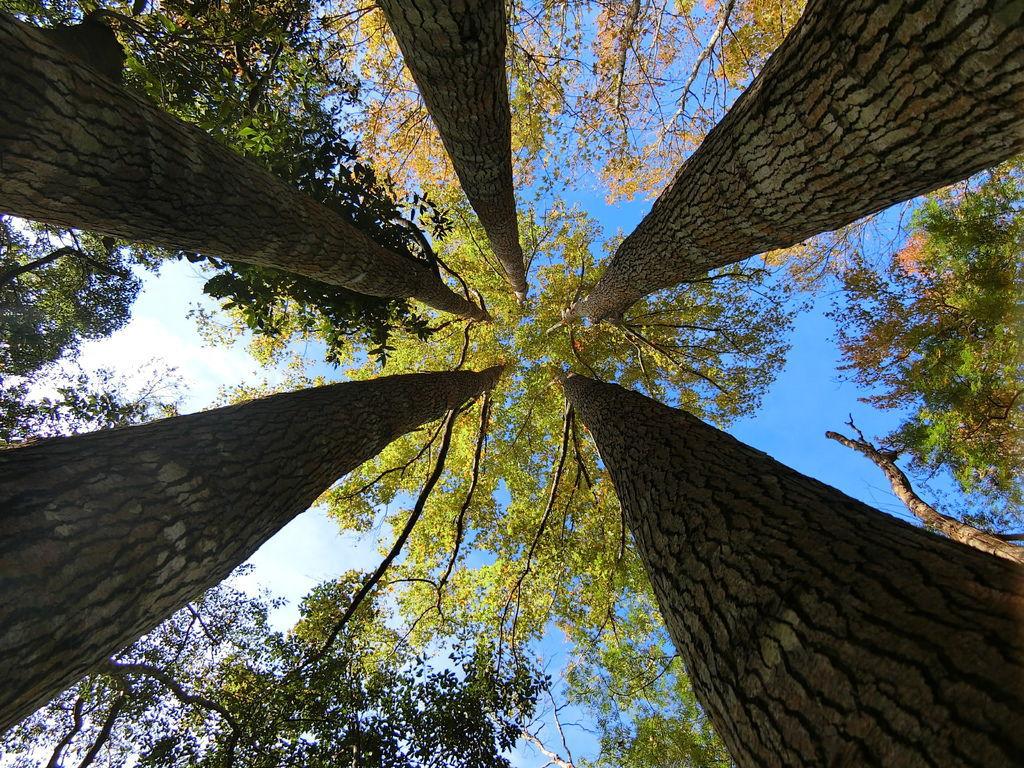 楓樹五胞胎