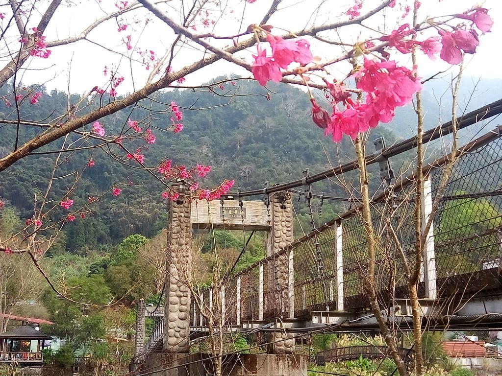 清泉吊橋櫻花