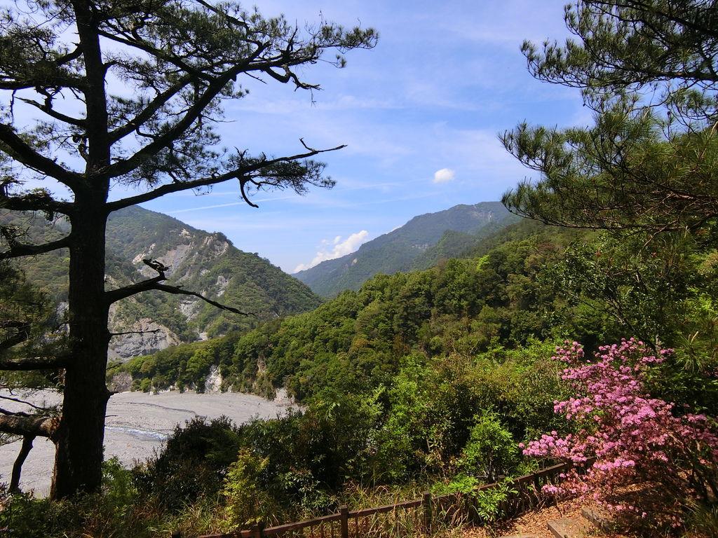 奧萬大吊橋、楓香林、櫻花