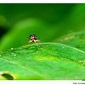 蘭嶼凸眼虎甲蟲(特有亞種)