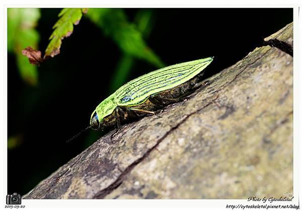 蘭嶼粉彩吉丁蟲(特有種)