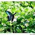 琉璃帶鳳蝶 (蘭嶼特有亞種)
