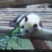 台北市立動物園~大貓熊「圓仔」