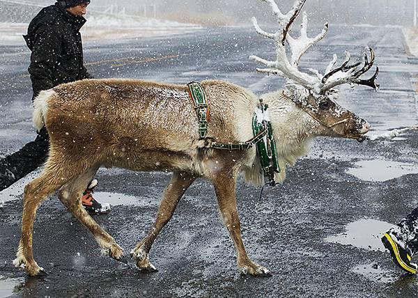 image_reindeer_1