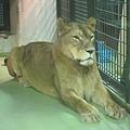 獅面獅身像