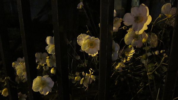 之前拍過的宿舍旁的小花