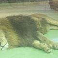 哀怨的公獅