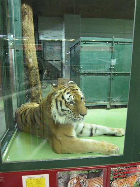 無奈的大老虎