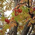 葉子還沒變紅的是這樣
