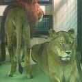 公獅與母獅同時出現在鏡頭中