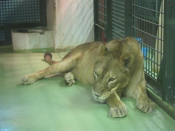 母獅也相當哀怨