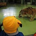 皮卡丘與正在用餐的老虎