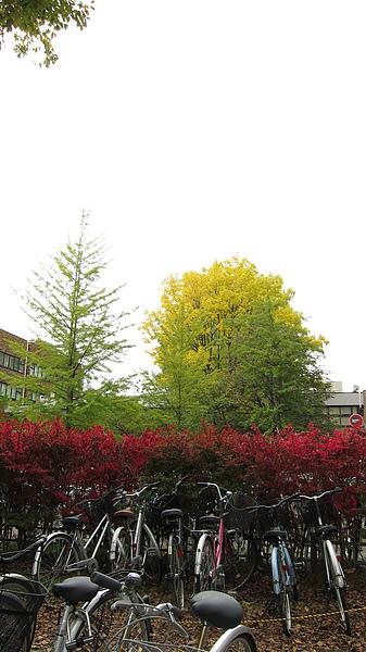 前面的矮叢這幾天變紅了