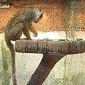 本圖重點:該種猴子尾巴很長