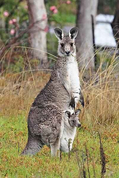 Kangaroo_and_joey03.jpg
