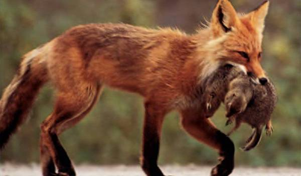 129-RED-FOX-752x440.jpg