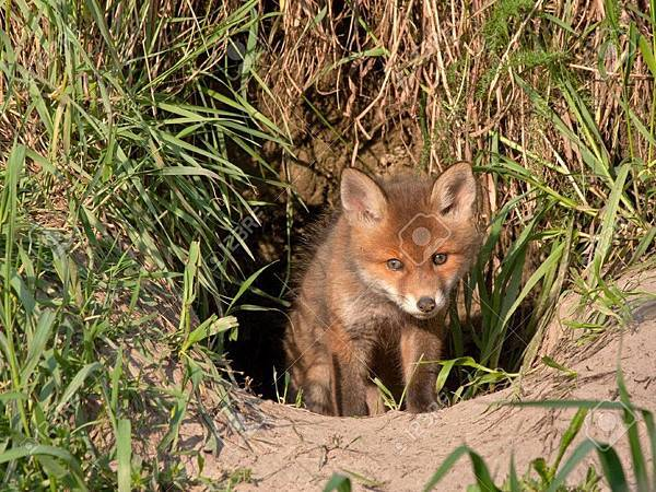 24219912-young-fox-comes-out-of-the-hole-red-fox-vulpes-vulpes-50-days-old.jpg