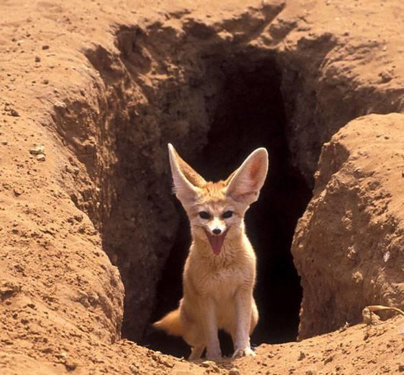 Fennec-fox-7.jpg