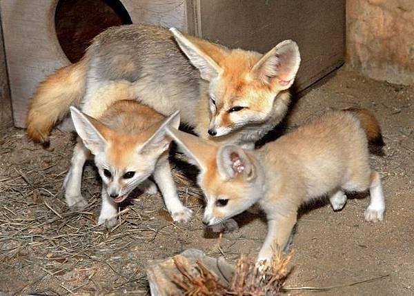 fennec_fox_lazoo_1.JPG