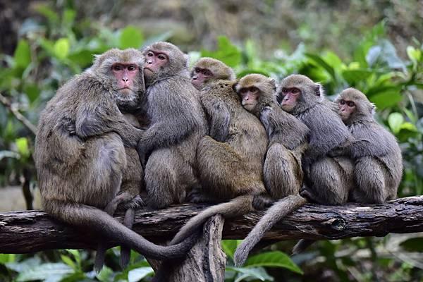 0125-003-寒流來,猴群擠在一起取暖。呂可喜/攝影.jpg