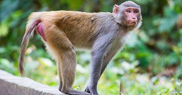 rhesus-macaques_resize_md.jpg