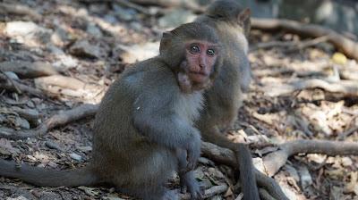 獼猴的行動儲藏室稱為「頰囊」.JPG