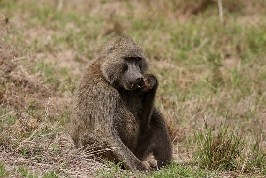 olive-baboon-papio-anubis.jpg