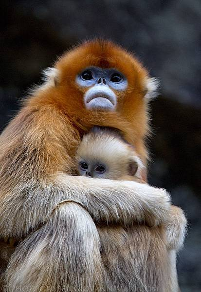 Golden_Snub-nosed_Monkeys,_Qinling_Mountains_-_China.jpg