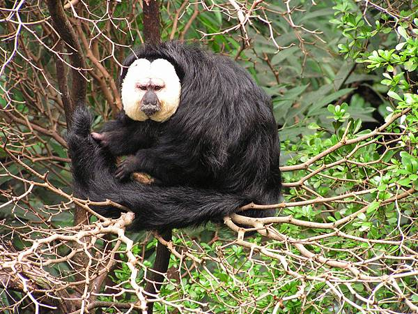 White-faced_Saki_2008-07.jpg