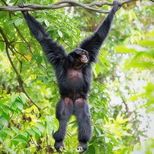 siamang-hanging-trees-malaysia-820x820.jpg