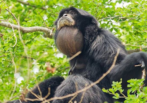 siamang-gular-throat-sac-820x573.jpg