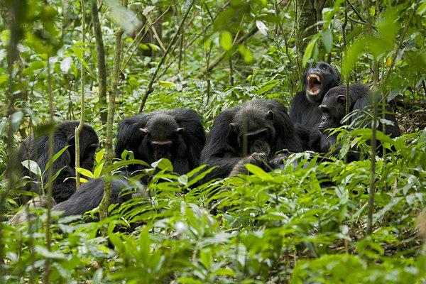 chimpanzee-pan-troglodytes-yawning-during-grooming-session-with-large-group-of-males-ngogo-chimpanzee-project-kibale-national-park-uganda-danita-delimont.jpg